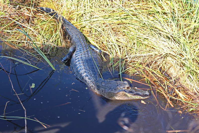 Alligator Moves Out of the Marsh