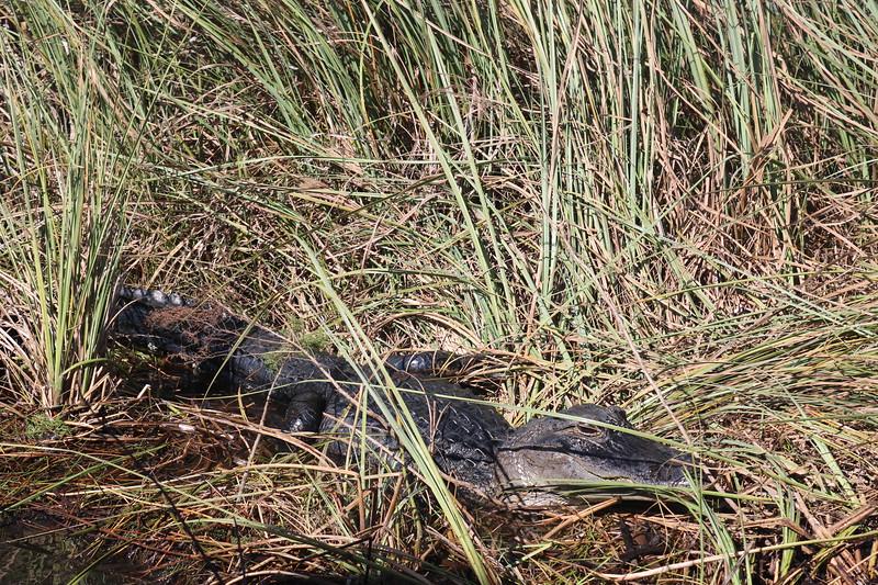 Alligator Hiding in the Marsh