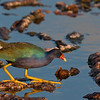 stalking purple gallinule