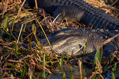 alligator asleep