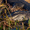 alligator asleep