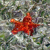 red cushion starfish
