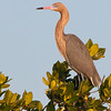 profile of Reddish Egret