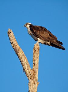 Y Osprey