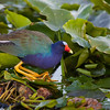 crouching purple gallinule
