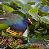 crouching purple gallinule