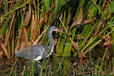 hidden tricolored heron