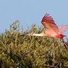 roseate spoonbill landing on Duck Key near Key Largo