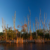 dead trees with cormorant in Everglades