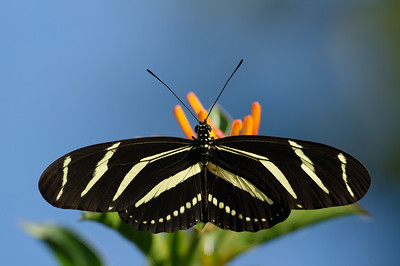 Lantan zebra broadwing butterfly 2