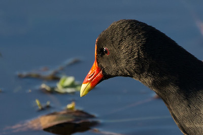 moorhen head