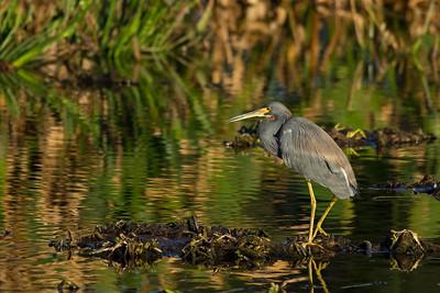 heron tricolor in Wakodahatchee Wetlands
