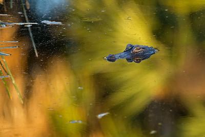 submerged gator