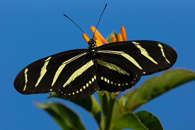 zebra broadwing butterfly
