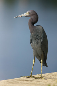 little blue heron on staring on seawall