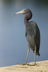 little blue heron on staring on seawall