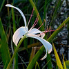 lily at Loxahatchee