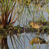 Loxahatchee Slough with snipe