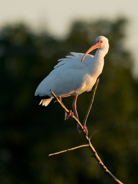 branch with white ibis