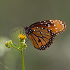 Loxahatchee flower  with queen butterfly