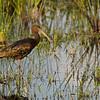 glossy ibis @ Loxahatchee