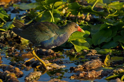 gallinule at Wakodahatchee