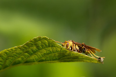 tiny wasp hiding on leaf