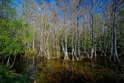 cypress swamp Fakahatchee Strand State Preserve