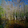 cypress swamp Fakahatchee Strand State Preserve