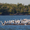 white pelicans on sand bar