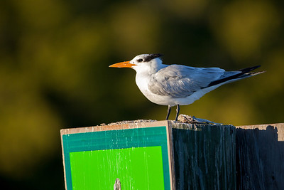 royal tern on channel marker