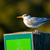 royal tern on channel marker