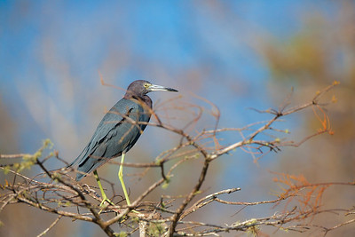 little blue heron in tree