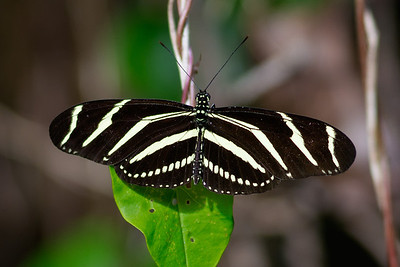 zebra longwing butterfly in Everglades