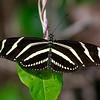 zebra longwing butterfly in Everglades