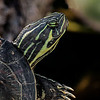 Florida red-bellied turtle in profile