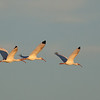 three white ibises flying into the sunset