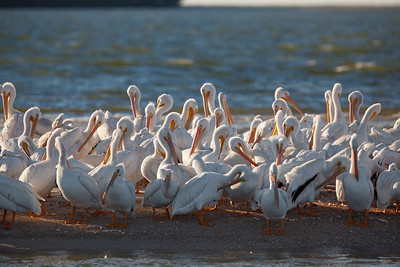 preening white pelicans