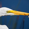 great egret wtih snack