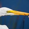 great egret wtih snack