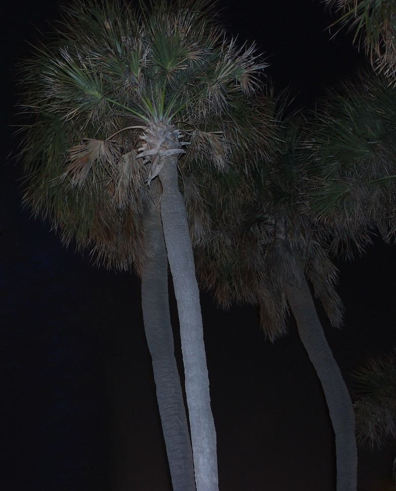 Palm Trees by the Light of the Moon