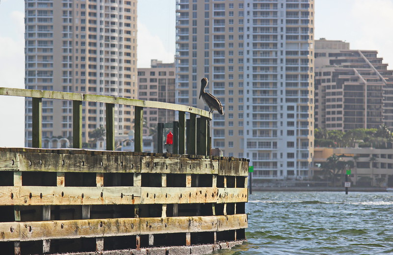 Pelican on the Miami River Dock