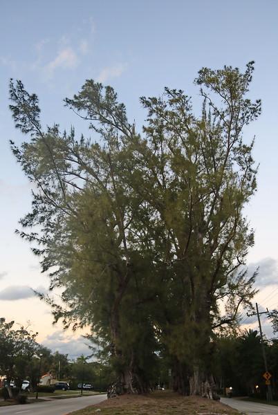 Historic Pine Tree Median