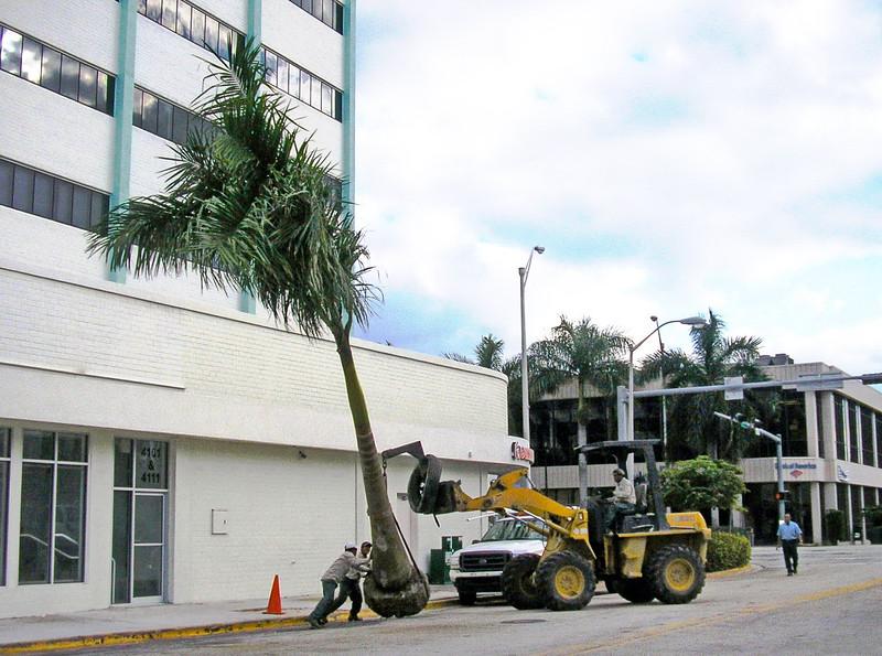 Planting a Royal Palm Tree