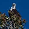 eye contact with an osprey FL