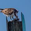 osprey devouring fish on channel marker FL