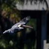 another brown pelican in flight FL