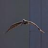 brown pelican in flight FL