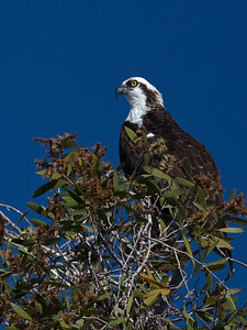 osprey in tree Boca Ciega Bay