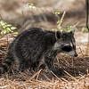 juvenile racoon Boyd Hill Preserve